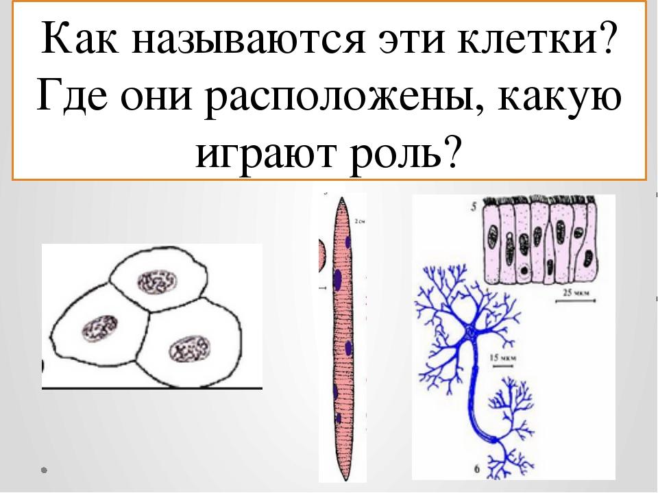 Как называются эти клетки? Где они расположены, какую играют роль?