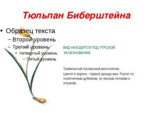 Тюльпан Биберштейна ВИД НАХОДИТСЯ ПОД УГРОЗОЙ ИСЧЕЗНОВЕНИЯ. Травянистый луков
