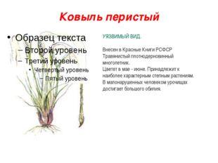 Ковыль перистый УЯЗВИМЫЙ ВИД. Внесен в Красные Книги РСФСР Травянистый плотно