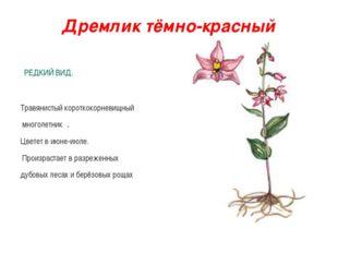 Дремлик тёмно-красный РЕДКИЙ ВИД. Травянистый короткокорневищный многолетник