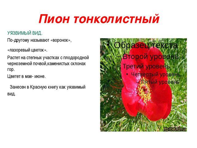 Пион тонколистный УЯЗВИМЫЙ ВИД. По-другому называют «воронок», «лазоревый цве...