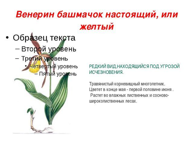 Венерин башмачок настоящий, или желтый РЕДКИЙ ВИД,НАХОДЯЩИЙСЯ ПОД УГРОЗОЙ ИСЧ...