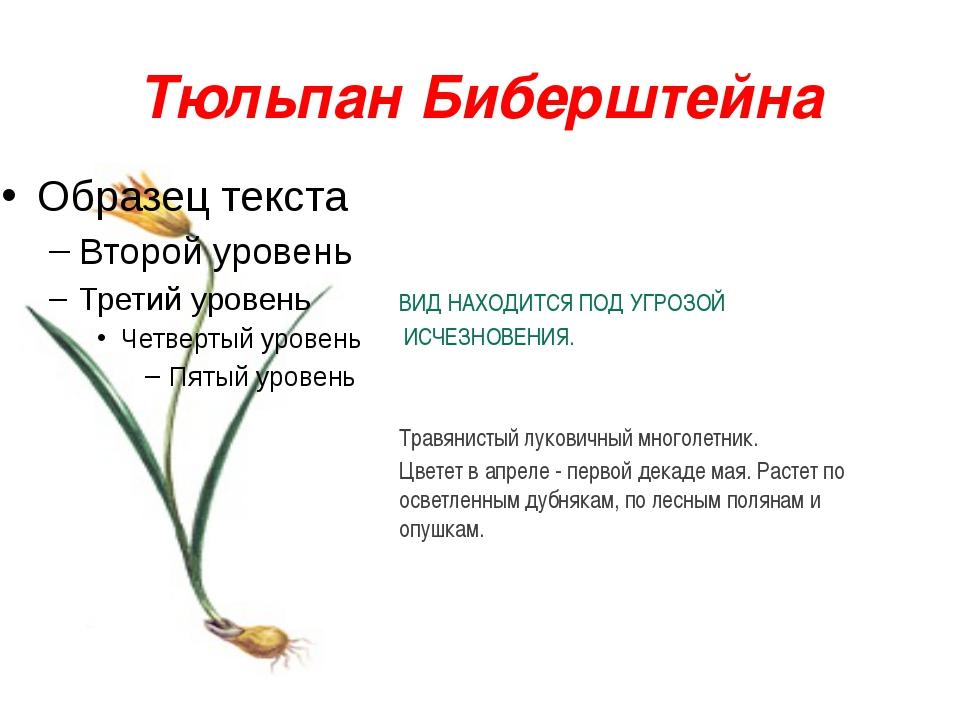 Тюльпан Биберштейна ВИД НАХОДИТСЯ ПОД УГРОЗОЙ ИСЧЕЗНОВЕНИЯ. Травянистый луков...