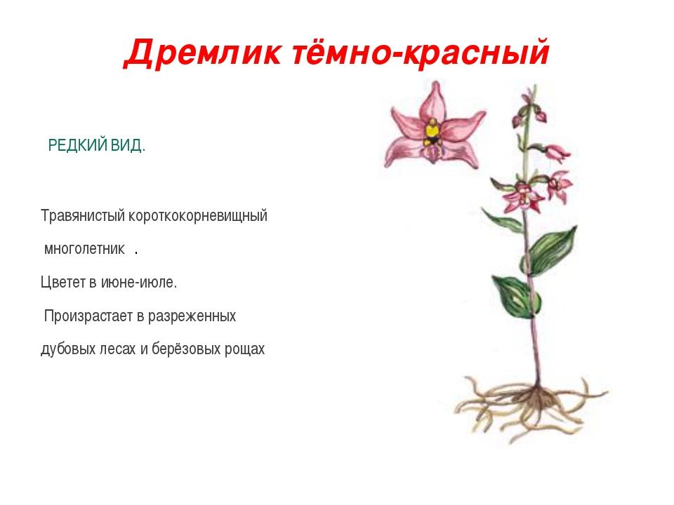 Дремлик тёмно-красный РЕДКИЙ ВИД. Травянистый короткокорневищный многолетник...