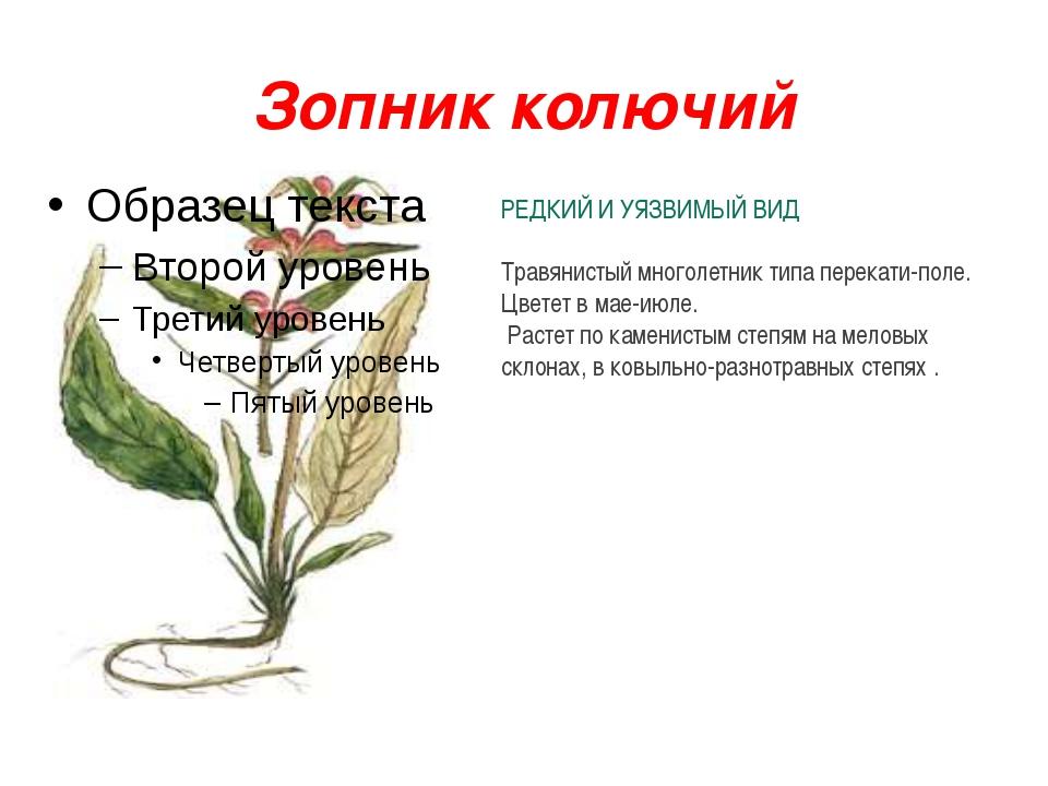 Зопник колючий РЕДКИЙ И УЯЗВИМЫЙ ВИД Травянистый многолетник типа перекати-по...
