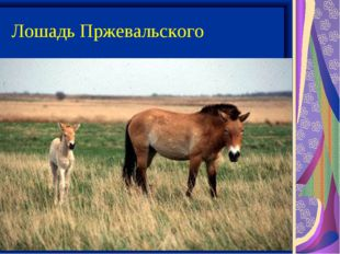 Лошадь Пржевальского