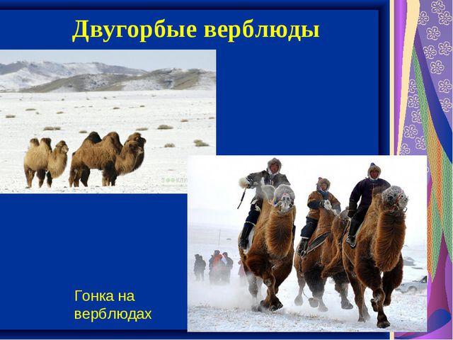Двугорбые верблюды Гонка на верблюдах