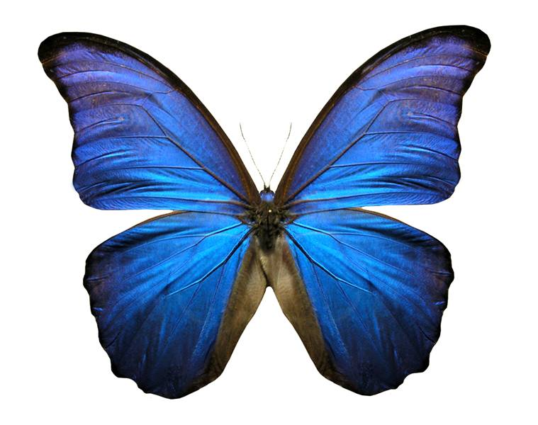 http://ehsjournal.org/wp-content/uploads/2010/04/Blue-Butterfly-Pigi-Vigi.jpg