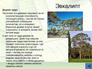 Эвкалипт Дерево чудес Насосами эти деревья называют за их исключительную спос
