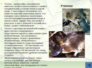 Утконос Утконос - чрезвычайно своеобразное животное, которое приспособилось к