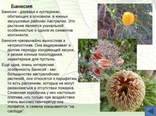 Банксия Банксии - деревья и кустарники, обитающие в основном, в южных засушли