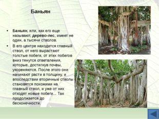 Баньян Баньян, или, как его еще называют, дерево-лес, имеет не один, а тысячи
