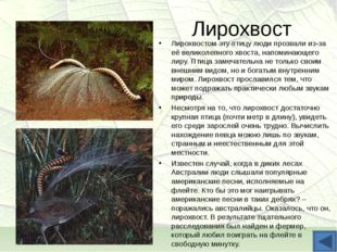 Лирохвост Лирохвостом эту птицу люди прозвали из-за её великолепного хвоста,