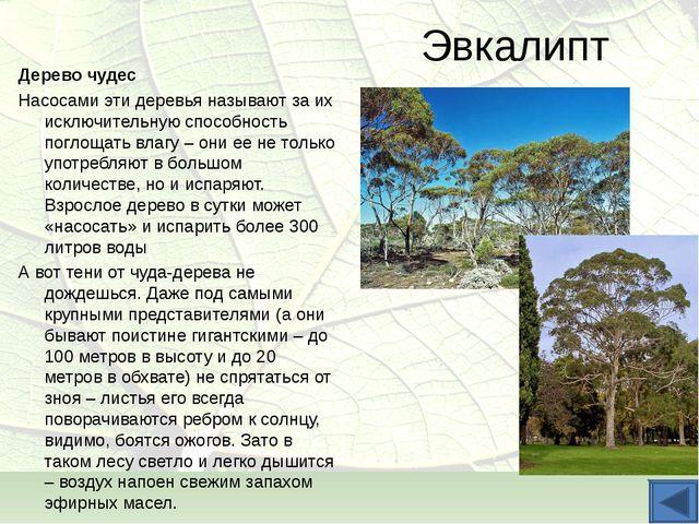 Эвкалипт Дерево чудес Насосами эти деревья называют за их исключительную спос...