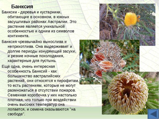 Банксия Банксии - деревья и кустарники, обитающие в основном, в южных засушли...