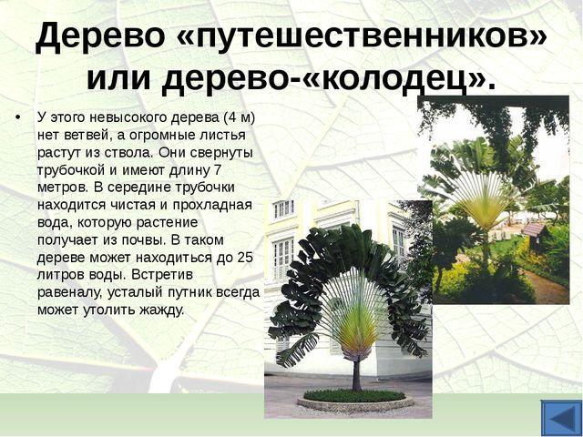 Дерево «путешественников» или дерево-«колодец». У этого невысокого дерева (4...