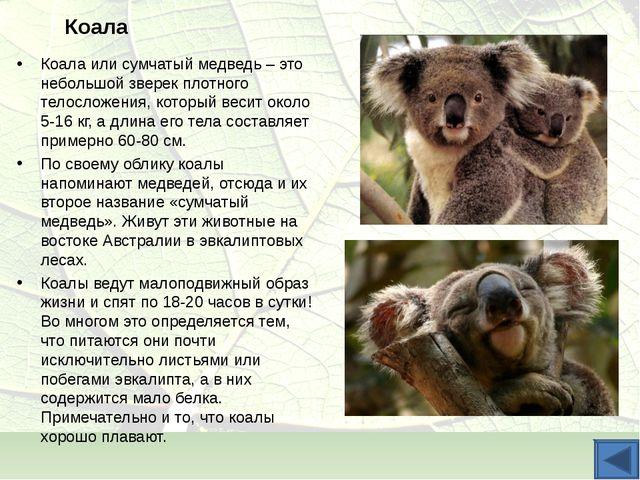 Коала Коала или сумчатый медведь – это небольшой зверек плотного телосложения...