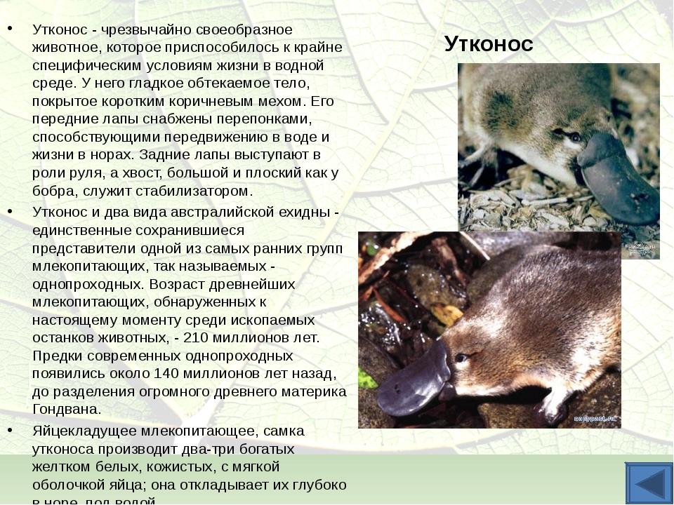 Утконос Утконос - чрезвычайно своеобразное животное, которое приспособилось к...