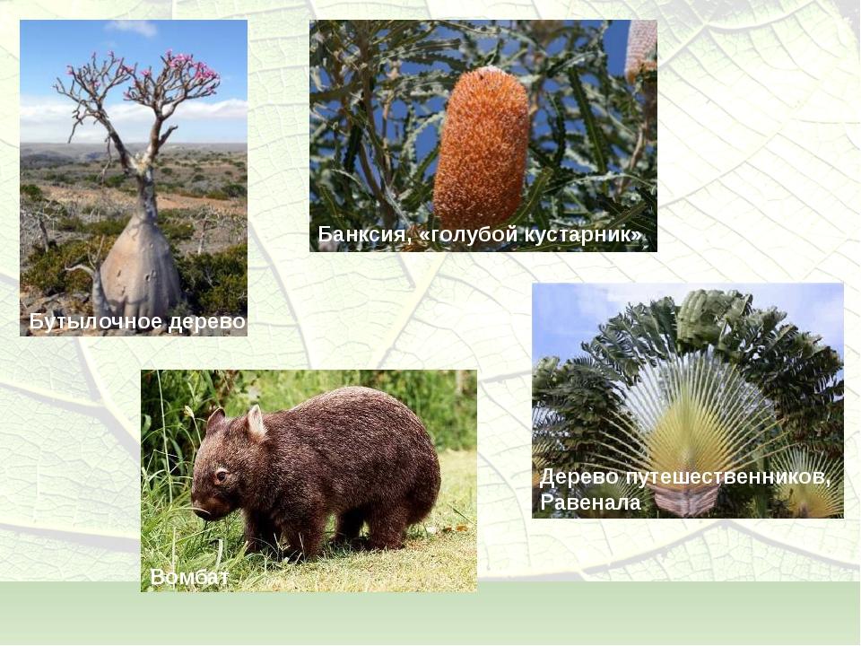 Бутылочное дерево Банксия, «голубой кустарник» Дерево путешественников, Равен...