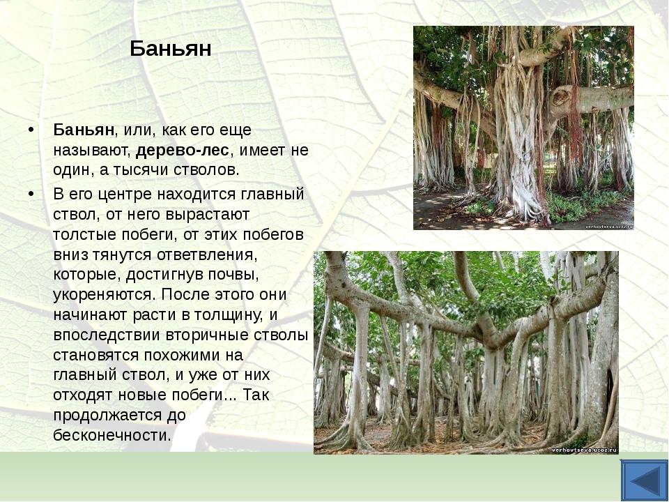 Баньян Баньян, или, как его еще называют, дерево-лес, имеет не один, а тысячи...