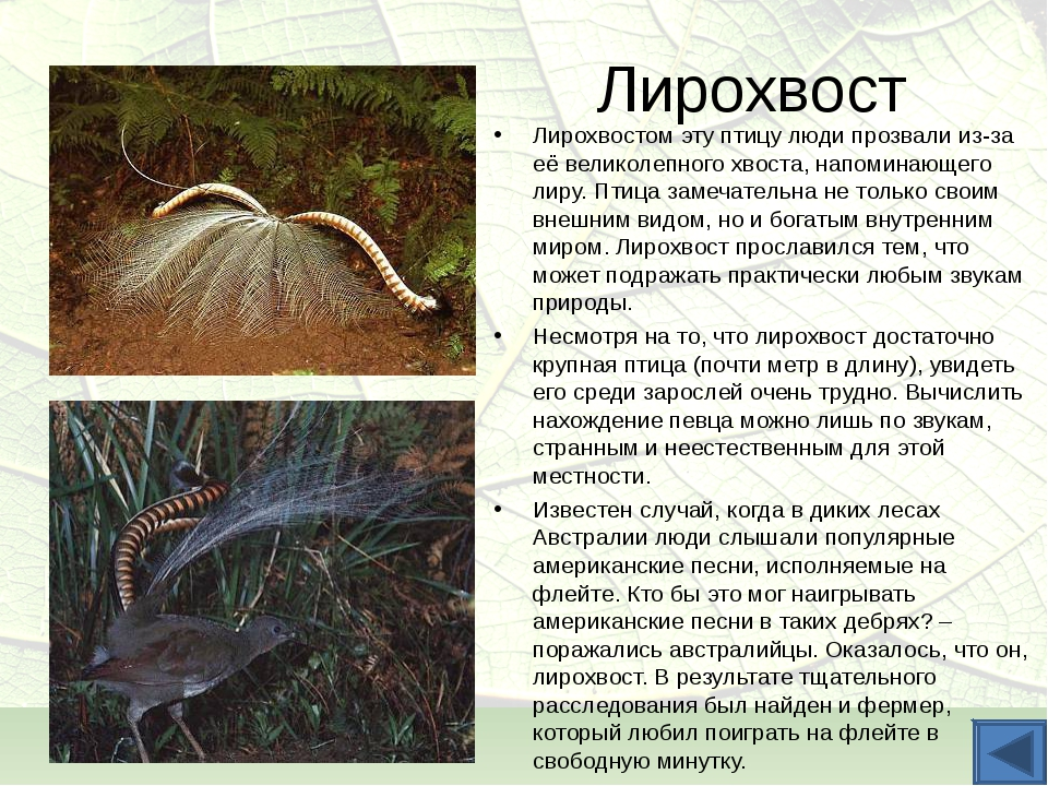 Лирохвост Лирохвостом эту птицу люди прозвали из-за её великолепного хвоста,...