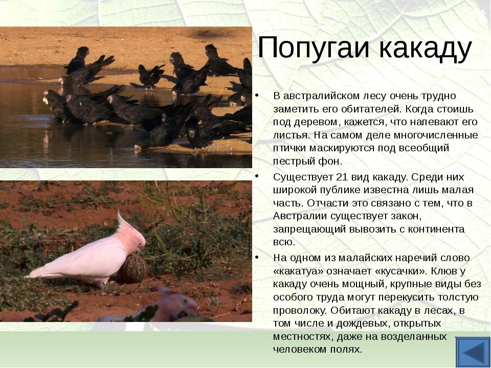 Попугаи какаду В австралийском лесу очень трудно заметить его обитателей. Ког...
