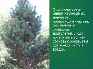 Сосна считается одним из любимых деревьев, приносящим счастье, она является с