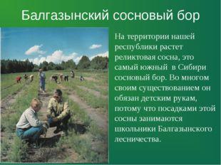 Балгазынский сосновый бор На территории нашей республики растет реликтовая со