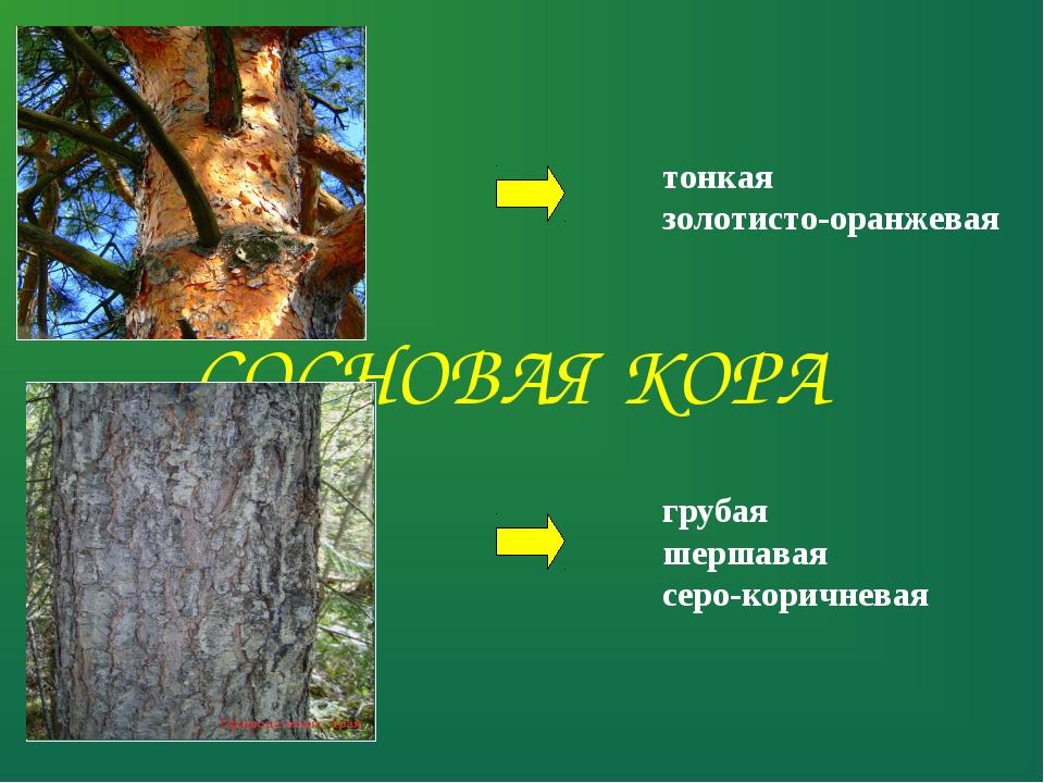 СОСНОВАЯ КОРА тонкая золотисто-оранжевая грубая шершавая серо-коричневая
