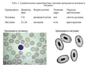 Эритроциты человека Эритроциты лягушки Табл. 1. Сравнительная характеристика