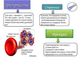 Эритроциты (от греч. «эритрос» – красный) В 1 мм3 крови – до 4,5 - 5 млн. сам