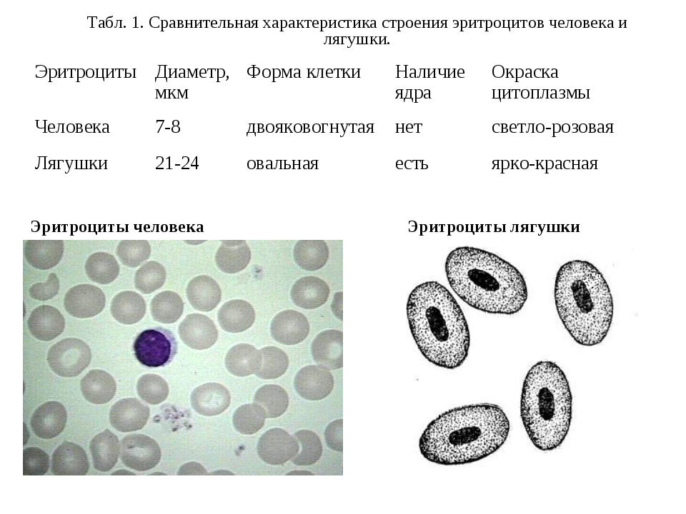 Эритроциты человека Эритроциты лягушки Табл. 1. Сравнительная характеристика...