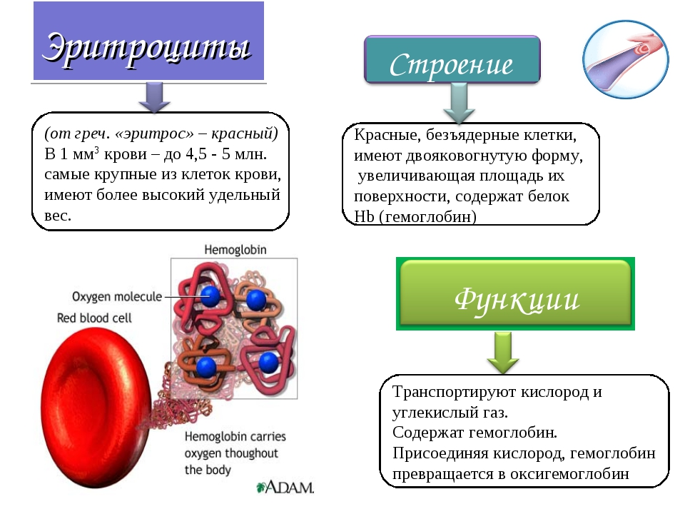 Эритроциты (от греч. «эритрос» – красный) В 1 мм3 крови – до 4,5 - 5 млн. сам...