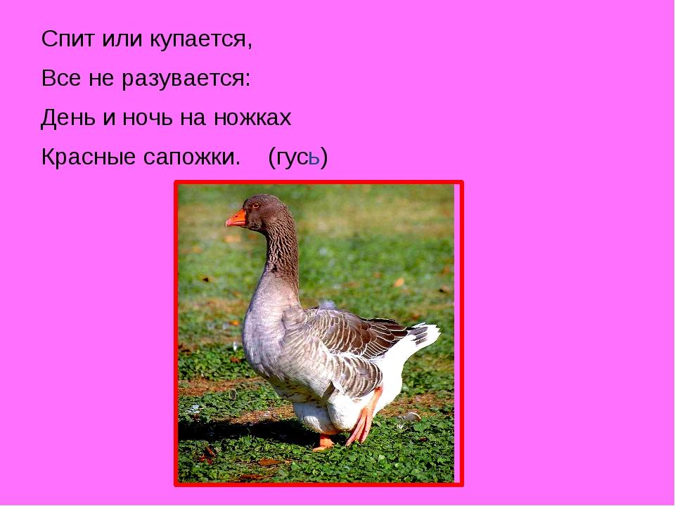 Спит или купается, Все не разувается: День и ночь на ножках Красные сапожки....
