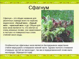 Сфагнум Особенностью сфагновых мхов является беспрерывное нарастание стебля в