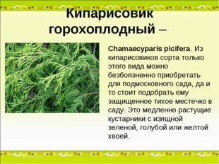 Кипарисовик горохоплодный – Chamaecyparis picifera. Из кипарисовиков сорта то