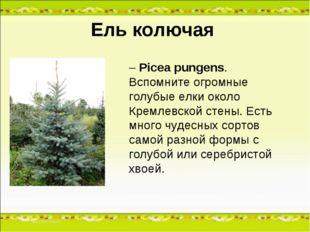 Ель колючая – Picea pungens. Вспомните огромные голубые елки около Кремлевско