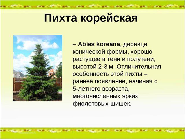 Пихта корейская – Abies koreana, деревце конической формы, хорошо растущее в...