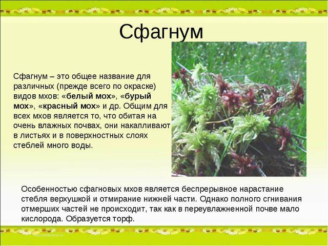 Сфагнум Особенностью сфагновых мхов является беспрерывное нарастание стебля в...