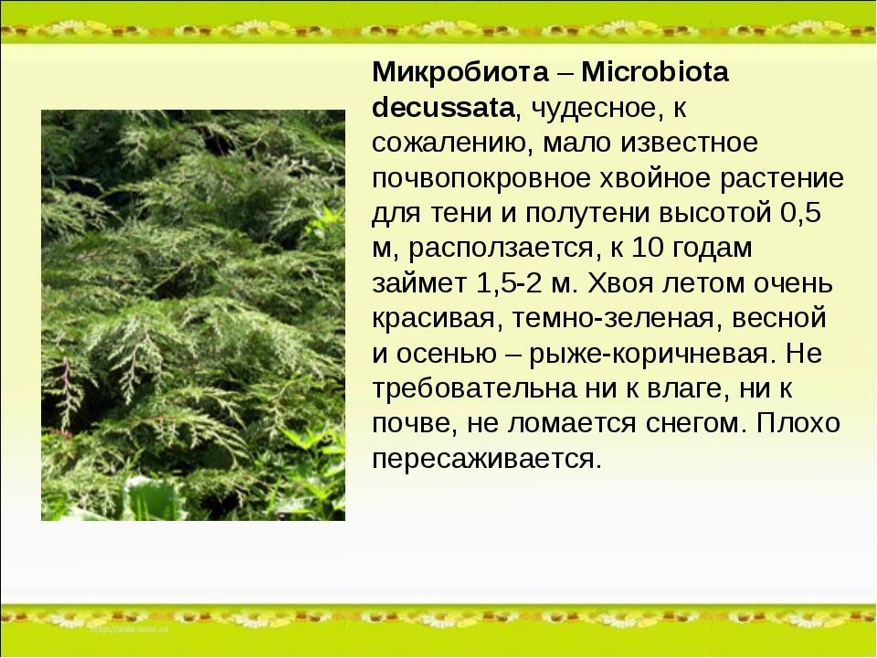 Микробиота – Microbiota decussata, чудесное, к сожалению, мало известное почв...