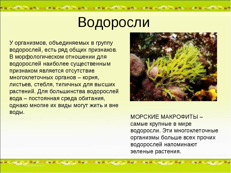 Водоросли У организмов, объединяемых в группу водорослей, есть ряд общих приз...