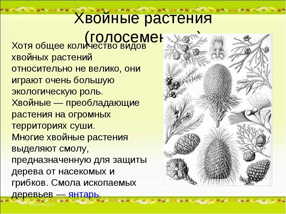 Хвойные растения (голосеменные) Хотя общее количество видов хвойных растений...