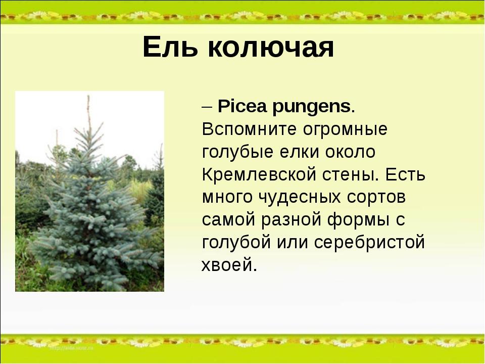 Ель колючая – Picea pungens. Вспомните огромные голубые елки около Кремлевско...