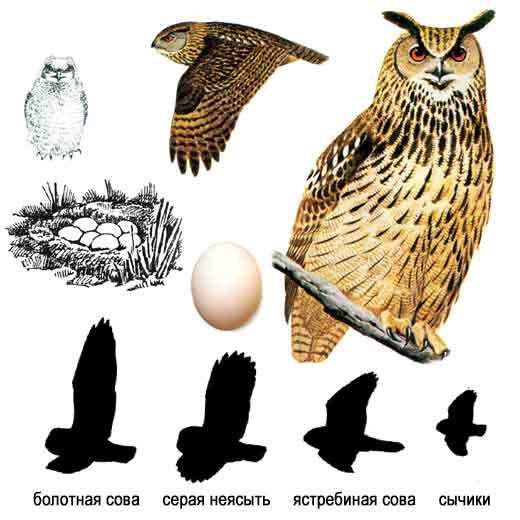 http://www.ecosystema.ru/08nature/birds/087.jpg