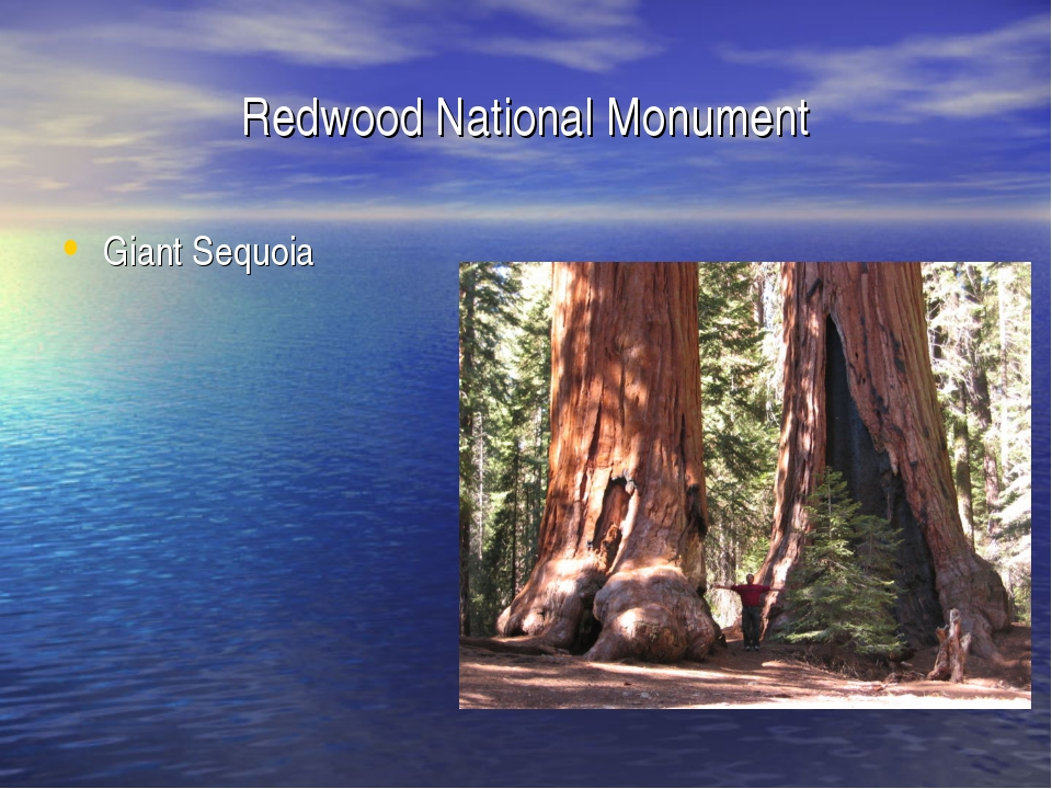 Redwood National Monument Giant Sequoia