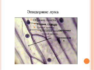 Эпидермис лука Ядро Оболочка Цитоплазма
