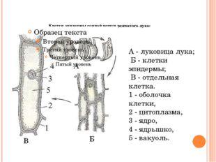Клетки эпидермы сочной чешуи репчатого лука: А - луковица лука; Б - клетки э