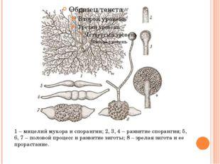 1 – мицелий мукора и спорангии; 2, 3, 4 – развитие спорангия; 5, 6, 7 – поло