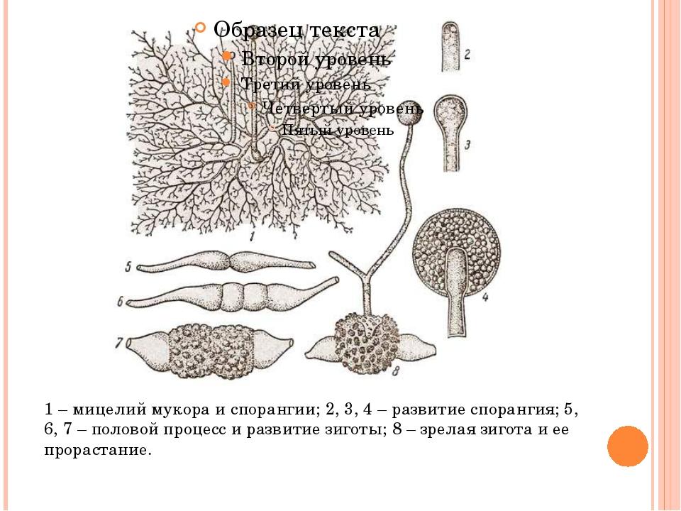 1 – мицелий мукора и спорангии; 2, 3, 4 – развитие спорангия; 5, 6, 7 – поло...