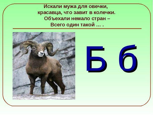 Искали мужа для овечки, красавца, что завит в колечки. Объехали немало стран...